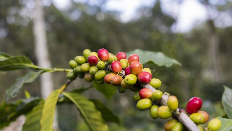 Qué son las cerezas del café