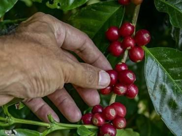 La cosecha del café (II)
