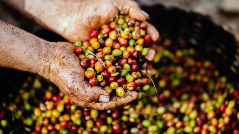 Los procesos del café: lavado, semilavado o natural