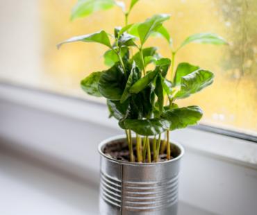 ¿Es posible cultivar café en casa?
